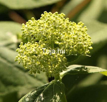 hortenzia a virágzás kezdetén