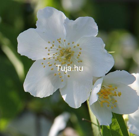 Jezsámen virágok - Philadelphus coronarius
