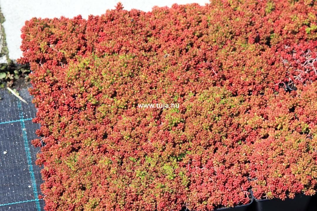 Sedum album coral carpet varj h j - Sedum album coral carpet ...