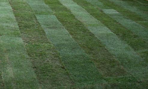 Wiandt Kertészet cikk gyepszőnyeg telepítés