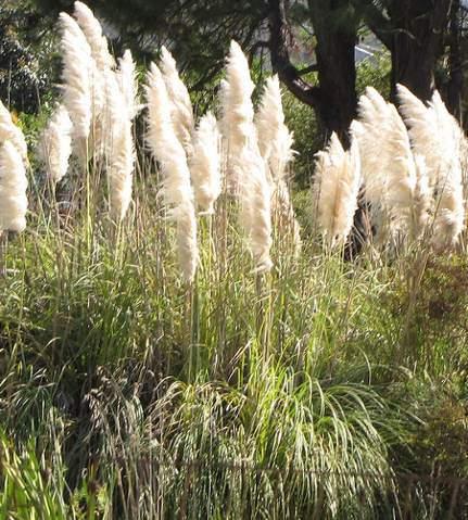Pampafű, Cortaderia selloana