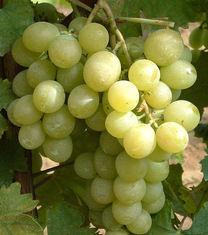 Itális csemegeszőlő