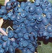 Néró csemegeszőlő