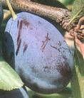 Stanley szilva termés