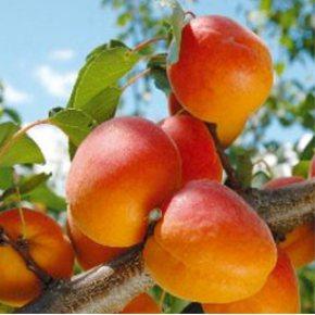 Gyümölcsfa ismertetlsek, Sárgabarack Körte Szilva Őszibarack fajták