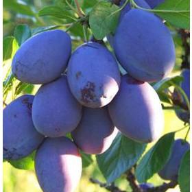 Szilva gyümölcsfa