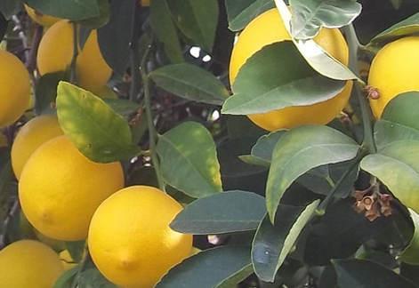 citrom, citrus