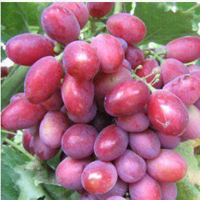 Dunav csemegeszőlő