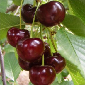 Meggy gyümölcsfa