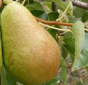 körte gyümölcsfa