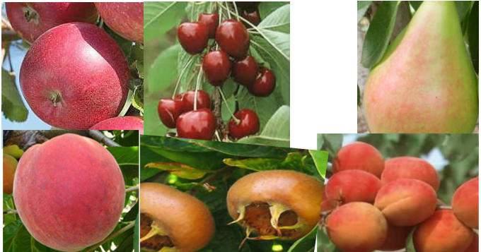 Gyümölcsfák fajtaismertetések