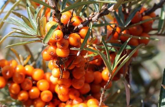 Homoktövis gyümölcs hatóanyagok Hippophae rhamnoides