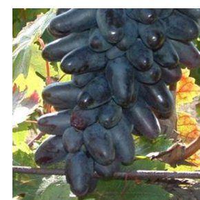 Suvenir csemegeszőlő