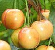 Vega sárga húsú cseresznye