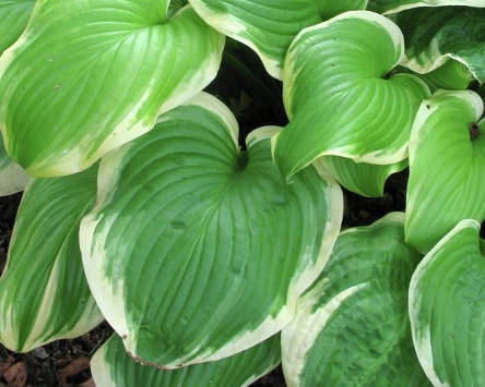 Hosta Fregrant Bouquet
