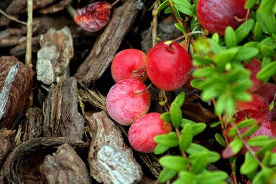 Áfonya fajták - Tőzegáfonya Fürtös és Vörös áfonya
