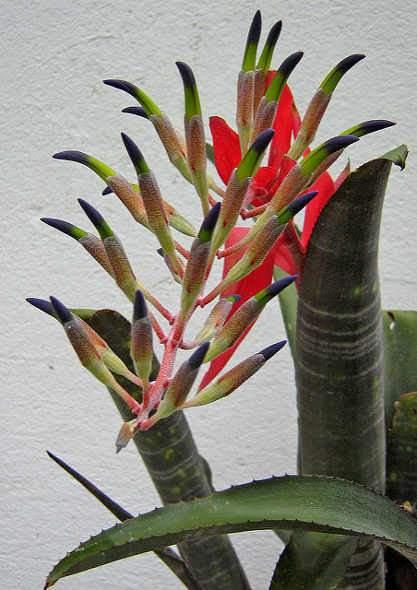 Broméliák - Aechmea, Billbergia, Dyckia, Lándzsarózsa
