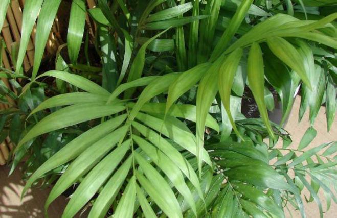 Bambuszpálma, Chamaedorea