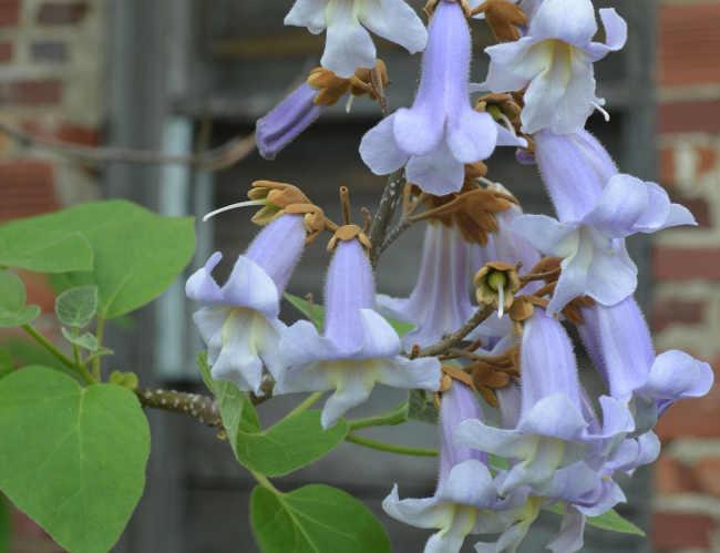 Császárfa Paulownia tomentosa