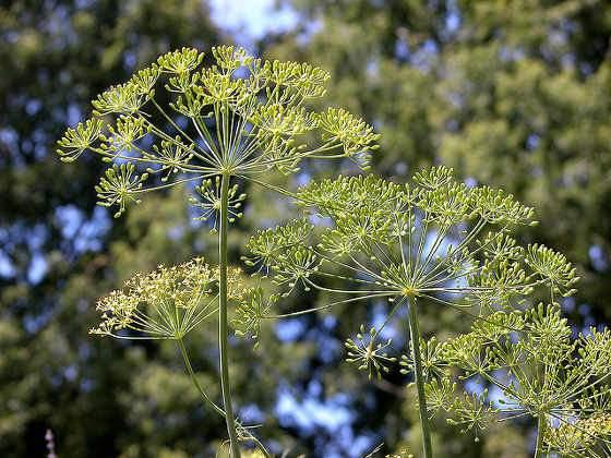 Fűszernövények gyógynövények fűszernövény katalógus