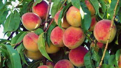 Gyümölcsfa árak