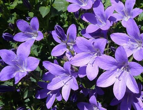 Harangvirág, Campanula