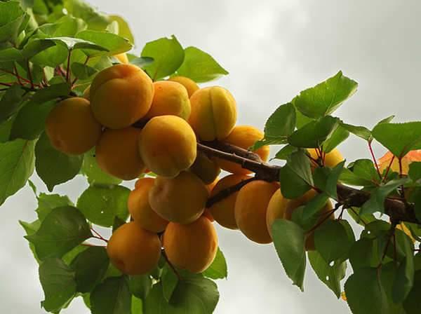 Gyümölcsfák, Gyümölcsfa leírások