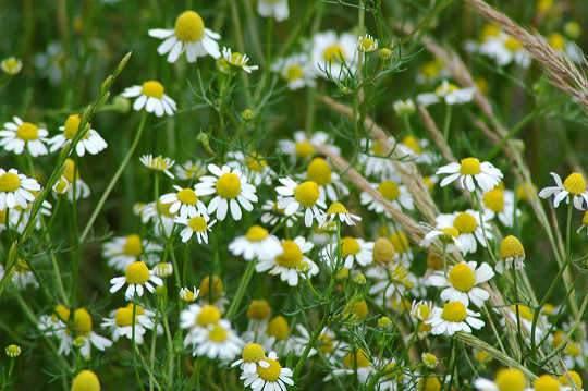 kamilla virágok