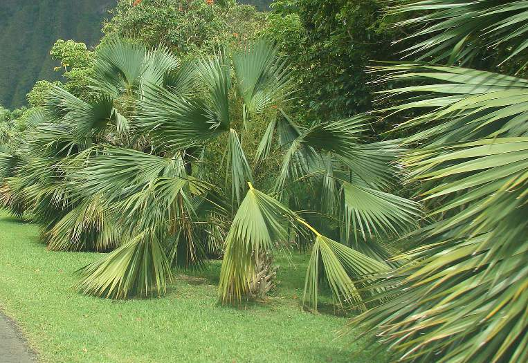 Káposzta pálma, Sabal palmetto