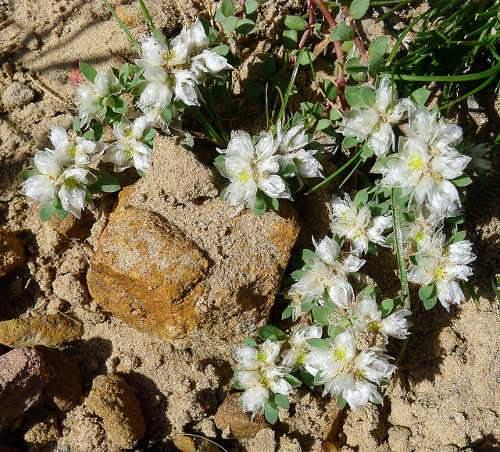 Kereklevelu-ezüstvirág, Sziklakerti évelők