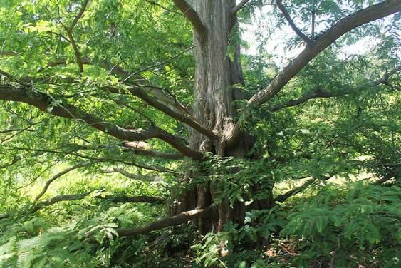Mamutfenyő - Fenyőfa katalógus