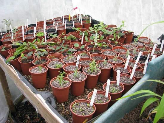 Növények szaporítása, Szemzés, oltás, dugványozás