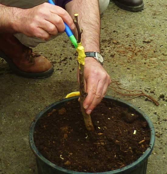 Oltás Oltási módok Növények oltása