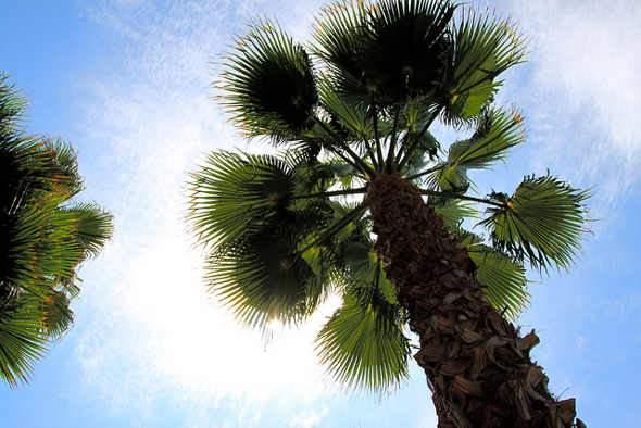 Pálmák, pálmafélék, pálma fajták