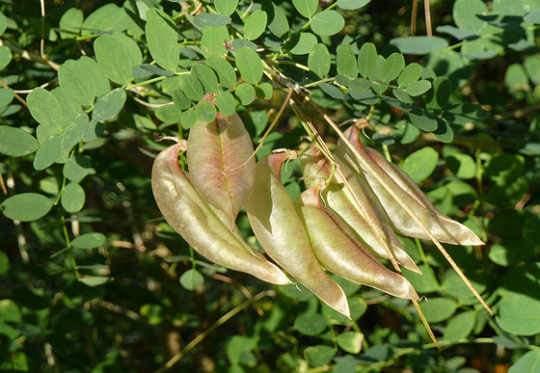 Pukkanó dudafürt termések Colutea arborescens