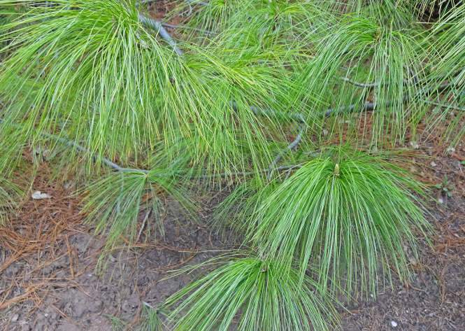 Picea, Pinus fajok Fenyő fajták leírások