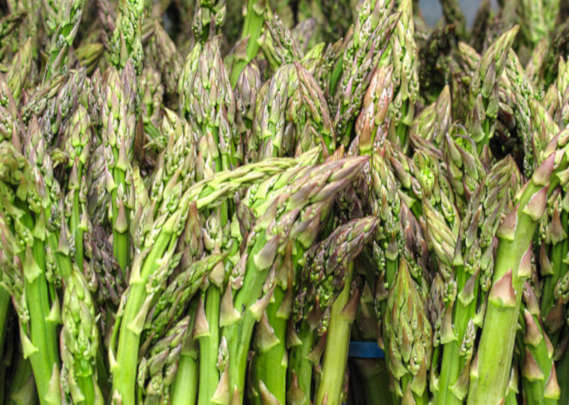 Spárga termesztés