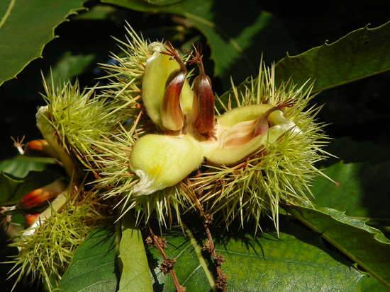Szelídgesztenye fa, Castanea sativa