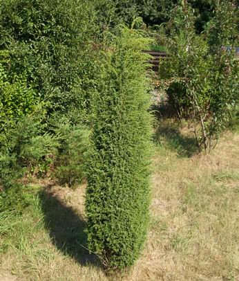 Juniperus communis Hibernica - Ír oszlopboróka