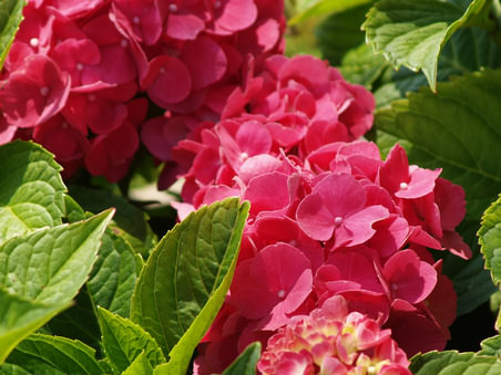 hortenzia virág