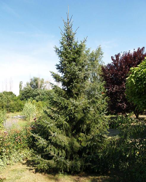 Picea omorika - Szerb lucfenyő