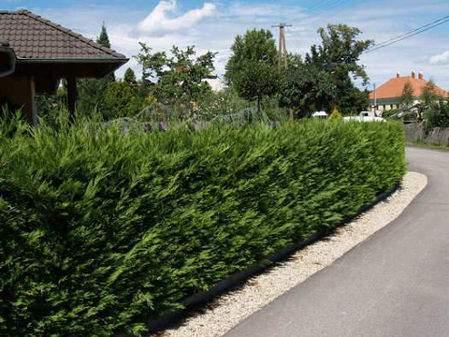 Gyakran ültetett sövények, sövény növények