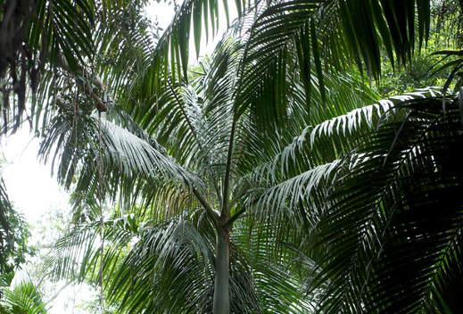 Wiandt Kertészet cikk Cunningham pálma