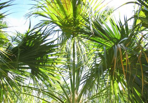 Wiandt Kertészet cikk Pálmák pálma fajták