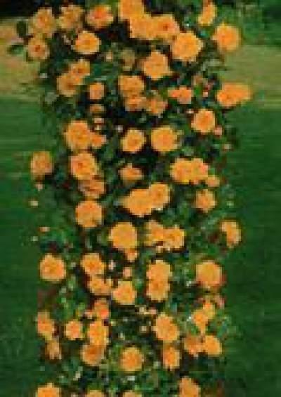 sárga futórózsa