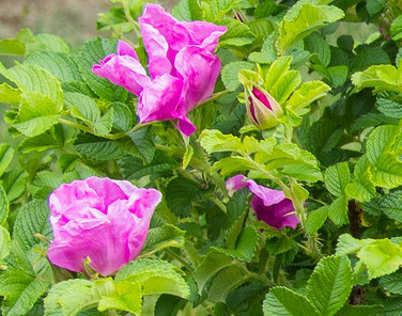Japán rózsa, Rosa rugosa