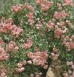 The Fairy talajtakaró rózsa