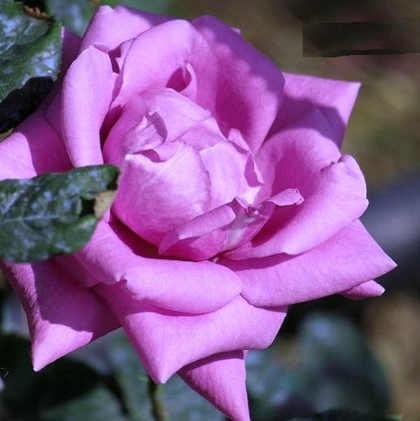 Nemes virágágyi rózsák