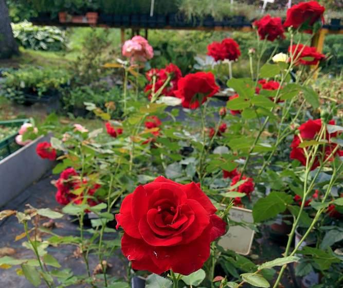 Rózsák Rózsa fajták Vadrózsa Bokor rózsa Futórózsa Ágyásrózsa