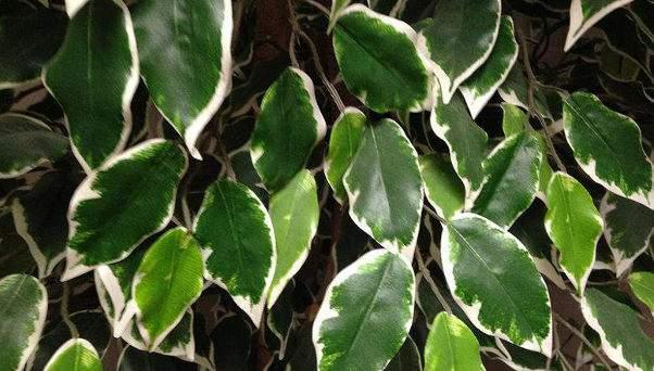 Fikusz levelek